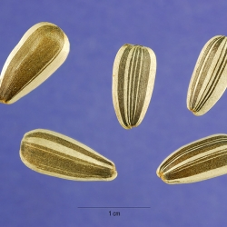 Seed Size