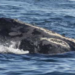 Right Whale Identification Game
