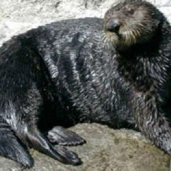 Make Your Own Sea Otter