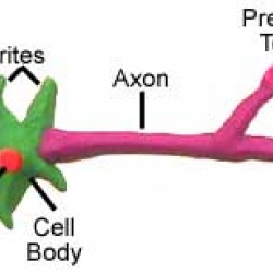 The Model Neuron