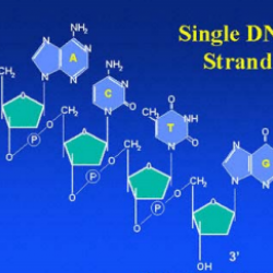 Modeling Concepts of 5', 3', Antiparallel and Complementary in DNA Structure