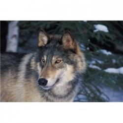 Wolf Limiting Factors